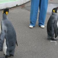ペンギン散歩今昔・越前松島キング1