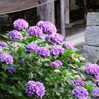【日記】 奈良・長谷寺の紫陽花(2016年6月15日撮影)