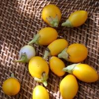 子羊と種から育てた泰のミニ茄子と無花果のタジン