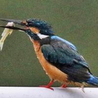 カワセミ百態027 獲魚の頭部を喉の方に