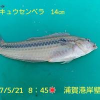 笑転爺の釣行記 5月21日☀ 浦賀・久里浜