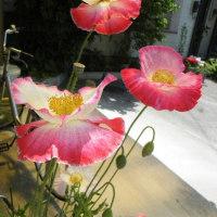 淡いピンクのポピーとヤマボウシの花