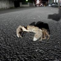 【事務所への訪問者46】夜に道路を横断  モクズガニ