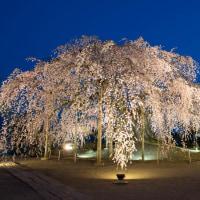 飯田周辺の桜が見頃になってきました