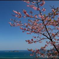 河津桜と七つバエ