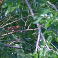 帰路・今日もヤマグワの木に寄り道をする-1