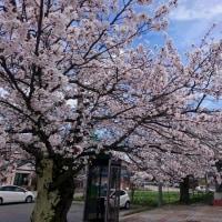 りんごちゃん桜は今日が身頃です