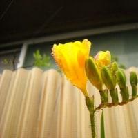 昨日雨の寒い中 桜開花宣言がありましたが、うちのフリージアさんも咲きました!