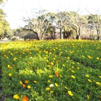 昨日は小寒でした、公園ではポピーの花が満開