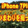 ひまわり畑が満開になってたのでiPhoneで撮ってみました。