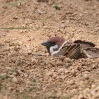 癒し画像:雀の砂浴び