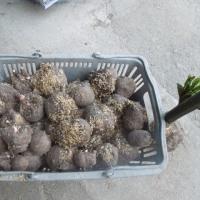 菊と田植がもう少しに成ったので、これまで出来なかった家庭菜園をします