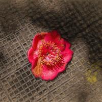 2017.03.24 横浜市 こどもの国 椿の森: 落ちてなお生々しい椿の花