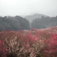 しだれ梅(いなべ農業公園Ⅲ)