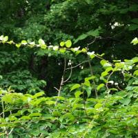 絡みつきタイプつる植物のサルナシ1