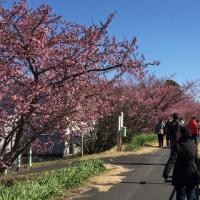 河津桜 Ⅱ