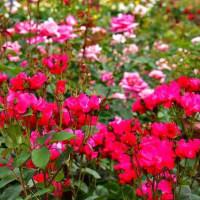 大阪府立花の文化園・バラ園へ・・・2