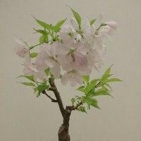 盆栽サクラ