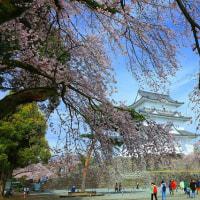 小田原城の桜も満開