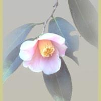 咲きだした覆輪侘助(椿)