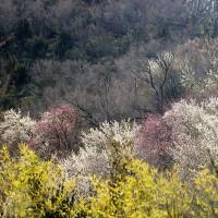 花見山の梅