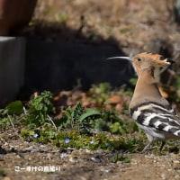今日の野鳥・・・ヤツガシラ 【その1】・・・庭の端で。。