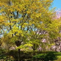 2017 日田醸造所いいちこの庭に咲く枝垂れサクラ  《大分県日田市》