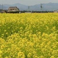 見奈良の菜の花