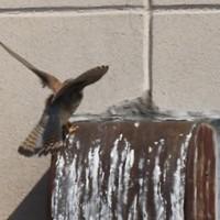 チョウゲンボウの飛翔練習に思う
