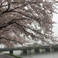 桜の中、雨宿り