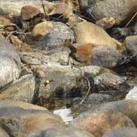 烏川渓谷(安曇野)②  野鳥 ミソサザイ