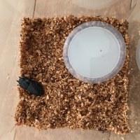 昆虫飼育観察記録 コクワガタ