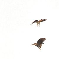 今日の鳥見 クマタカ他