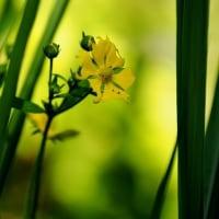 ヘビイチゴにそっくりな花・・ミツバツチグリ