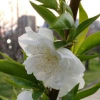 桃の花 夕焼け