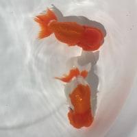想定外の産卵