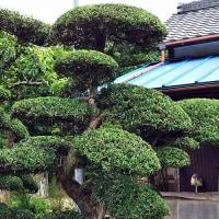 槇の木の剪定