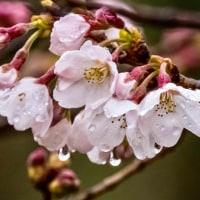 26/Mar  雨の沈丁花と桜達とルリビタキ