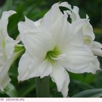 誕生日の花 5月28日 〈アマリリス〉