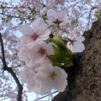 東京都東村山市近郊2017年の春・・桜ソメイヨシノ満開