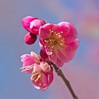 梅花を楽しむ(Ⅹ)