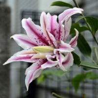珍しい 八重咲のユリ 白花ムラサキツユクサ