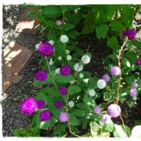 暑さに強いラベンダー<今朝の庭7/27>
