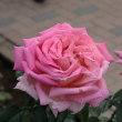 神代植物公園のバラ2011秋544