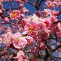 梅の花・八重祭笠枝垂が青空に元気よく咲いていました