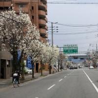 コブシが咲く道