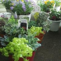 花とセダムの寄せ植え沢山作製しました!明日横浜鶴見西口で一部を販売します。