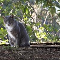 日本ネコの昔の色