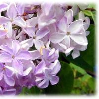 春から夏にかけてポピュラーな庭木として親しまれている花(^^♪花びらが5枚の「ラッキーライラック」