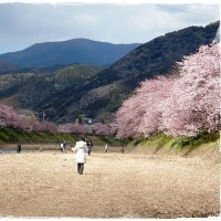 本家本元の河津桜